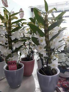 pianta fiorita da interno